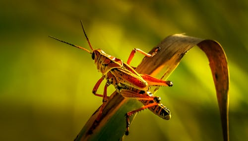 Grasshopper Perched on Dried Leaf in Close Up Photography