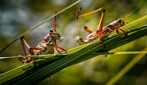 Grasshoppers Perched on Green Grass in Close Up Photography