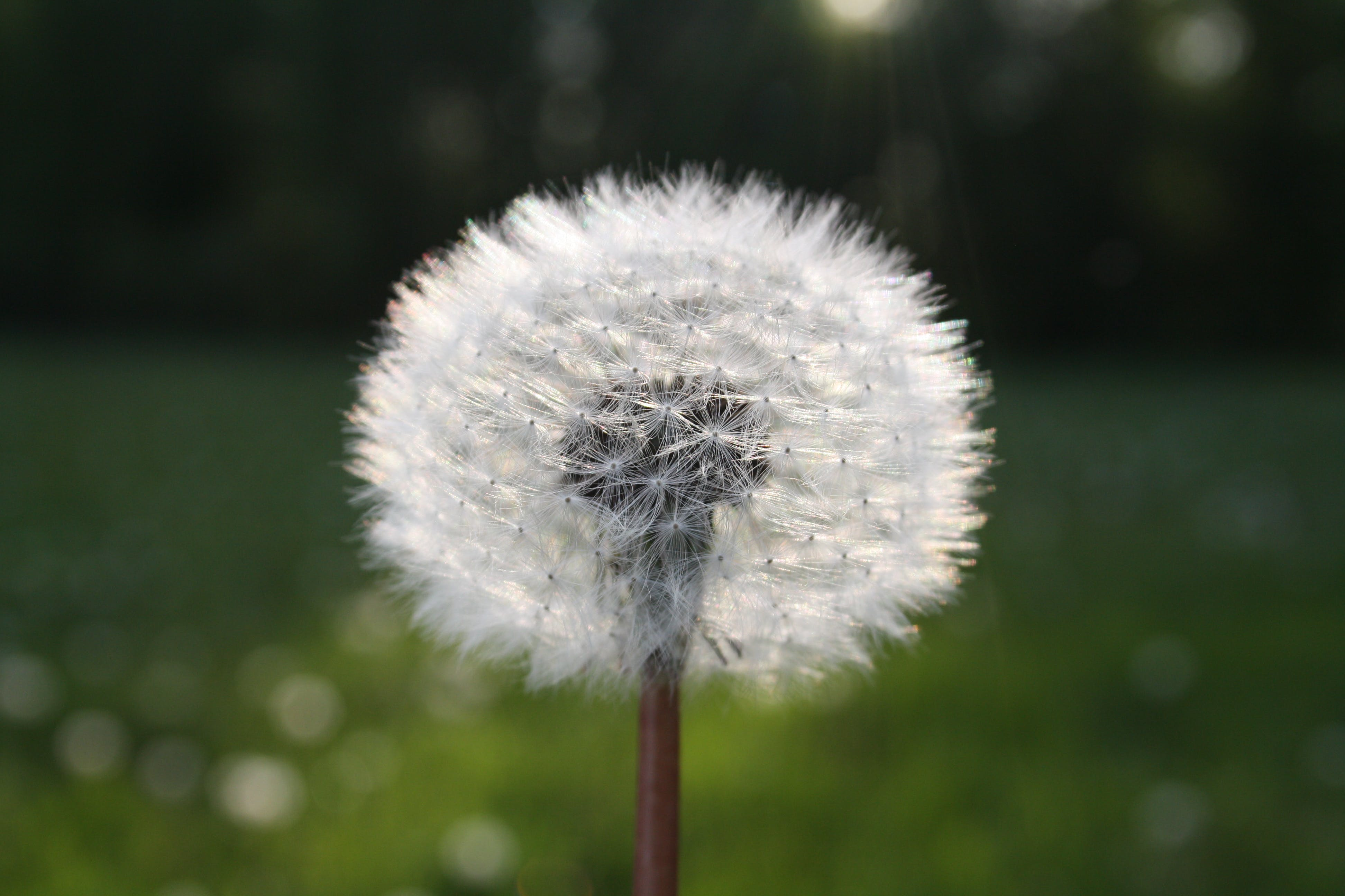 White Dandelion Flower in Close Up Photograph