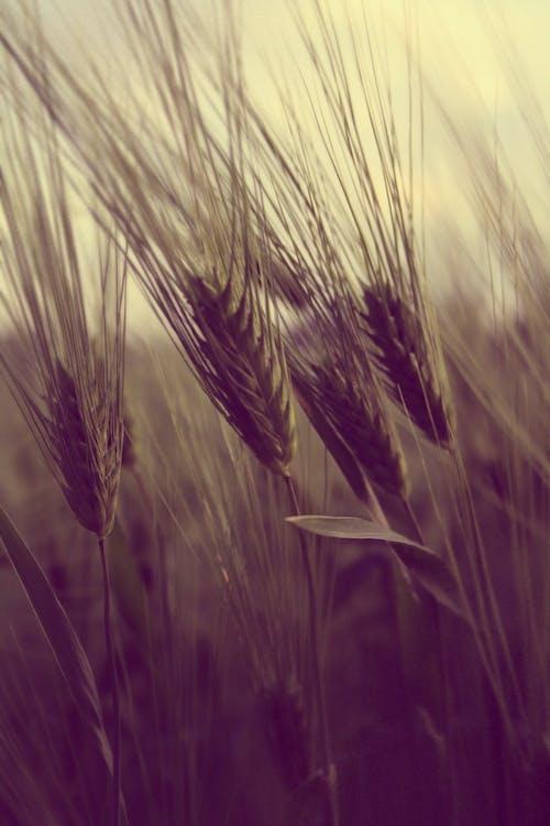 Δωρεάν στοκ φωτογραφιών με αγροτικός, γήπεδο, καλλιέργειες, ρύζι