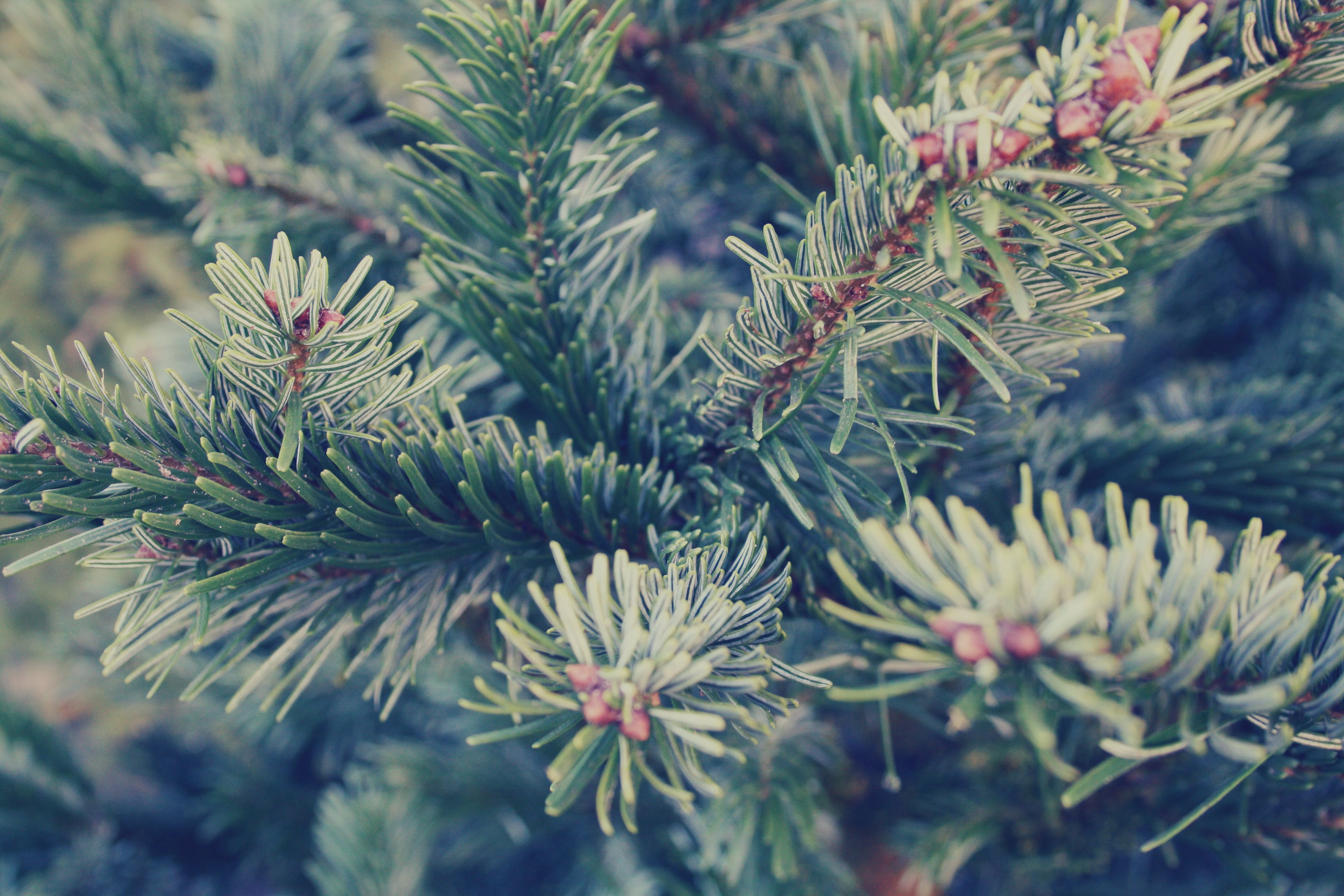 Free stock photo of #spruce