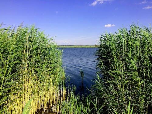 Free stock photo of bulrush, cane, lake
