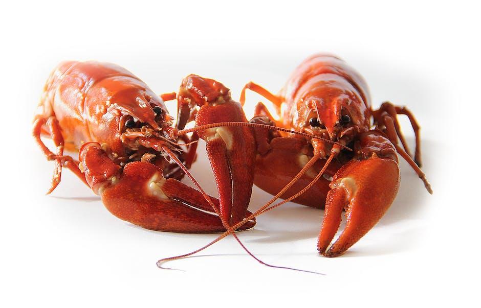 Orange Freshwater Lobsters