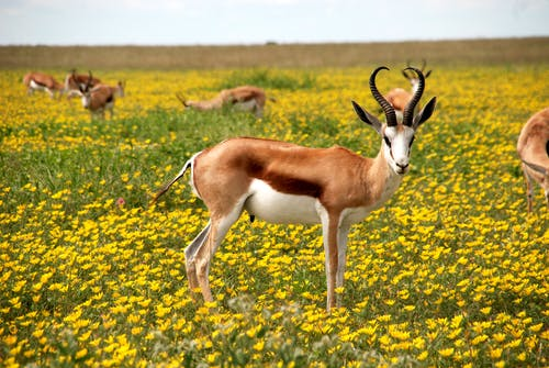 Antelopes on Green Field