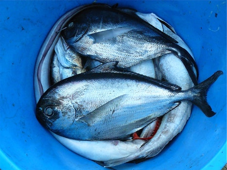 Silver and Black Fishes Inside Blue Plastic Container