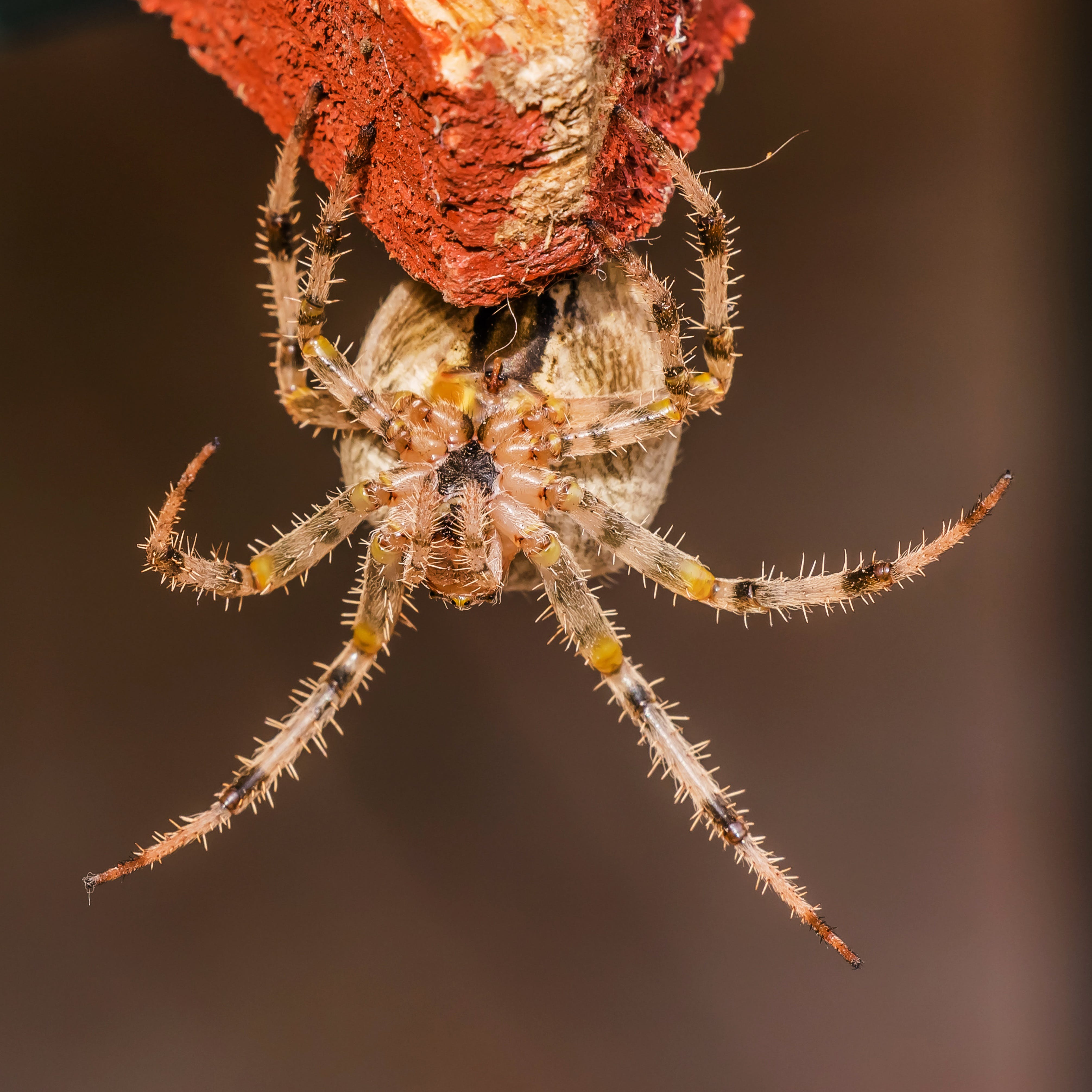 Brown and Yellow Spider