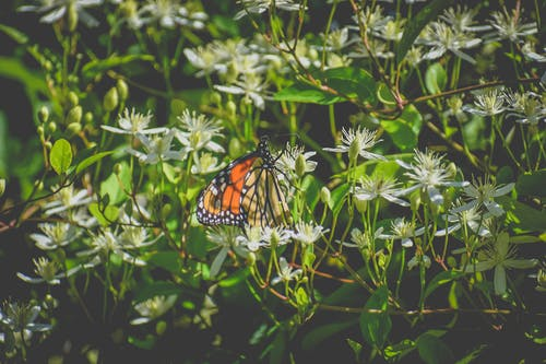 Monarch butterfly with bright orange wings sitting on white blossoming flowers in lush verdant nature