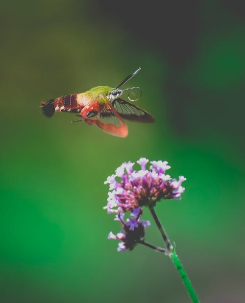 Green and Brown Hummingbird Flying over Purple Flower