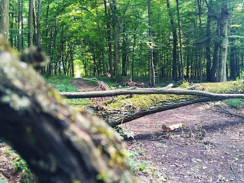 Photos gratuites de arbres, bois, chemin, forêt