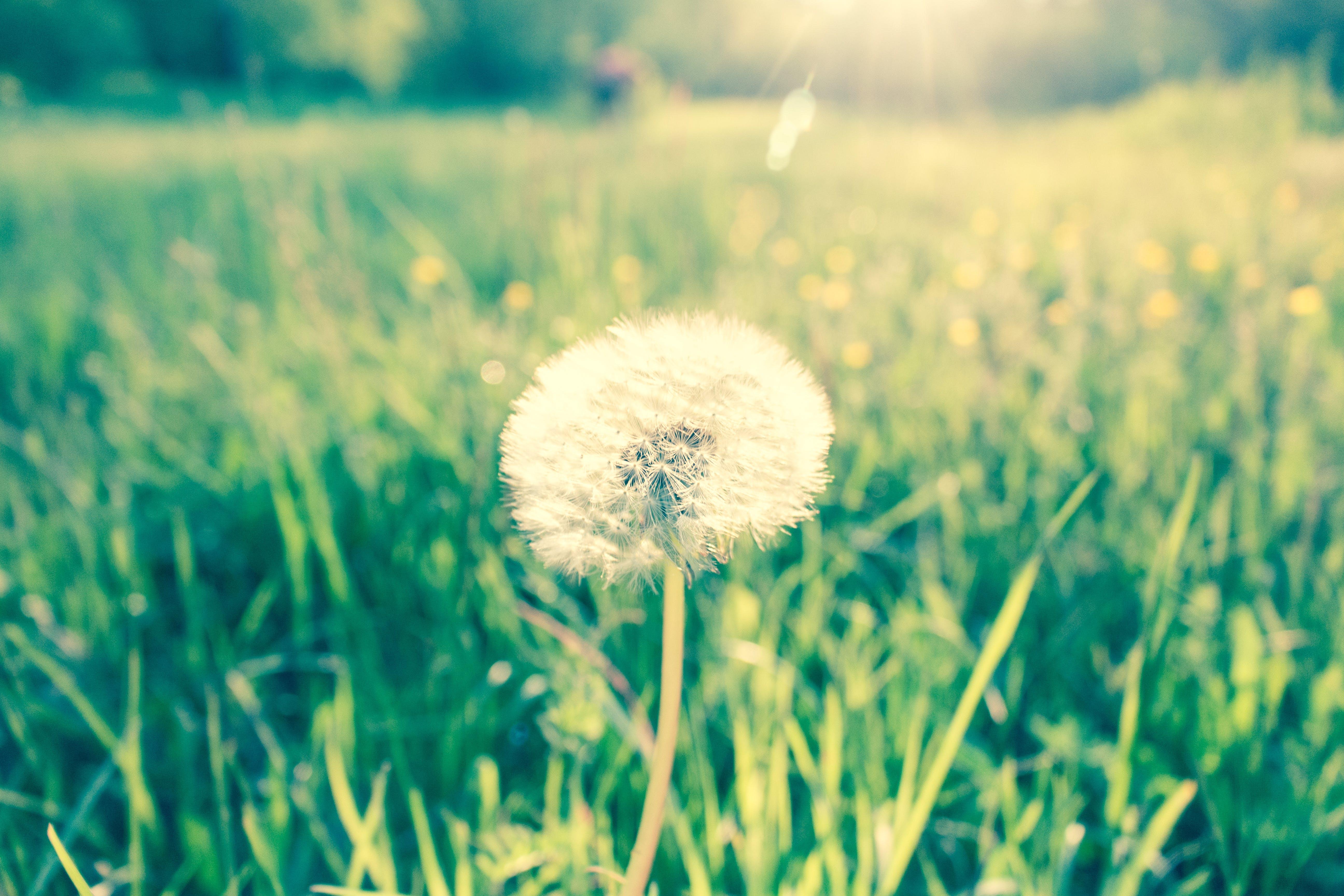 Shallow Focus of Dandelion