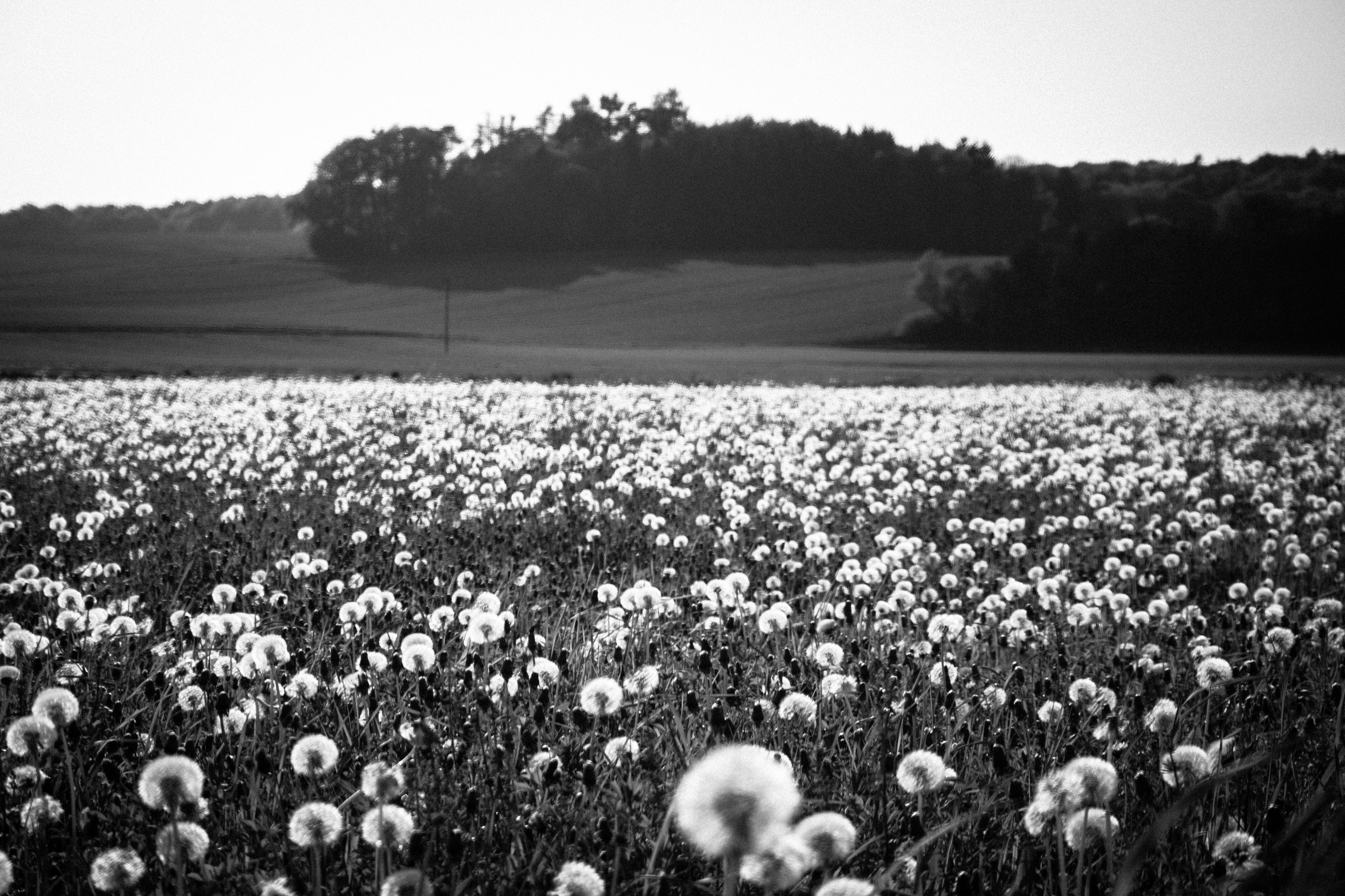 Grayscale Photo of Flower Field