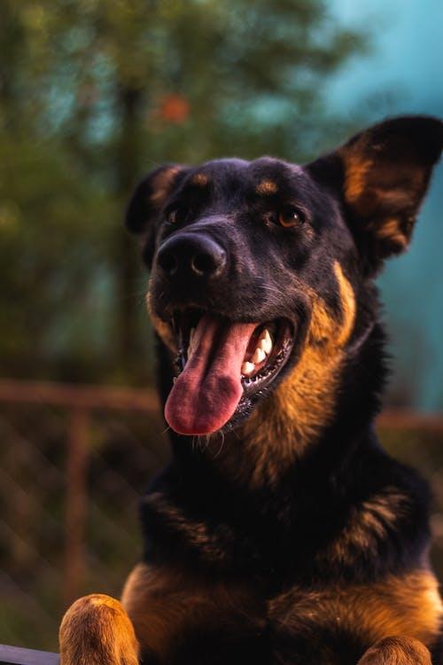 Δωρεάν στοκ φωτογραφιών με γερμανικός ποιμενικός, γλώσσα, ζώο