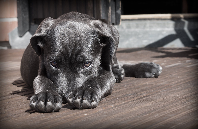 Black Short Haired Dog
