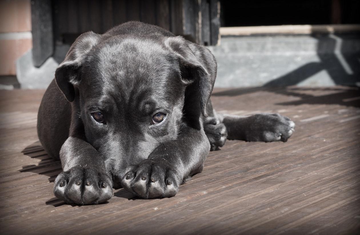tan dog
