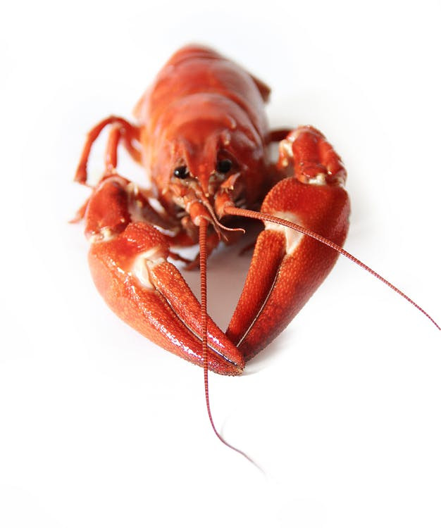 Red and White Lobster on a White Surface