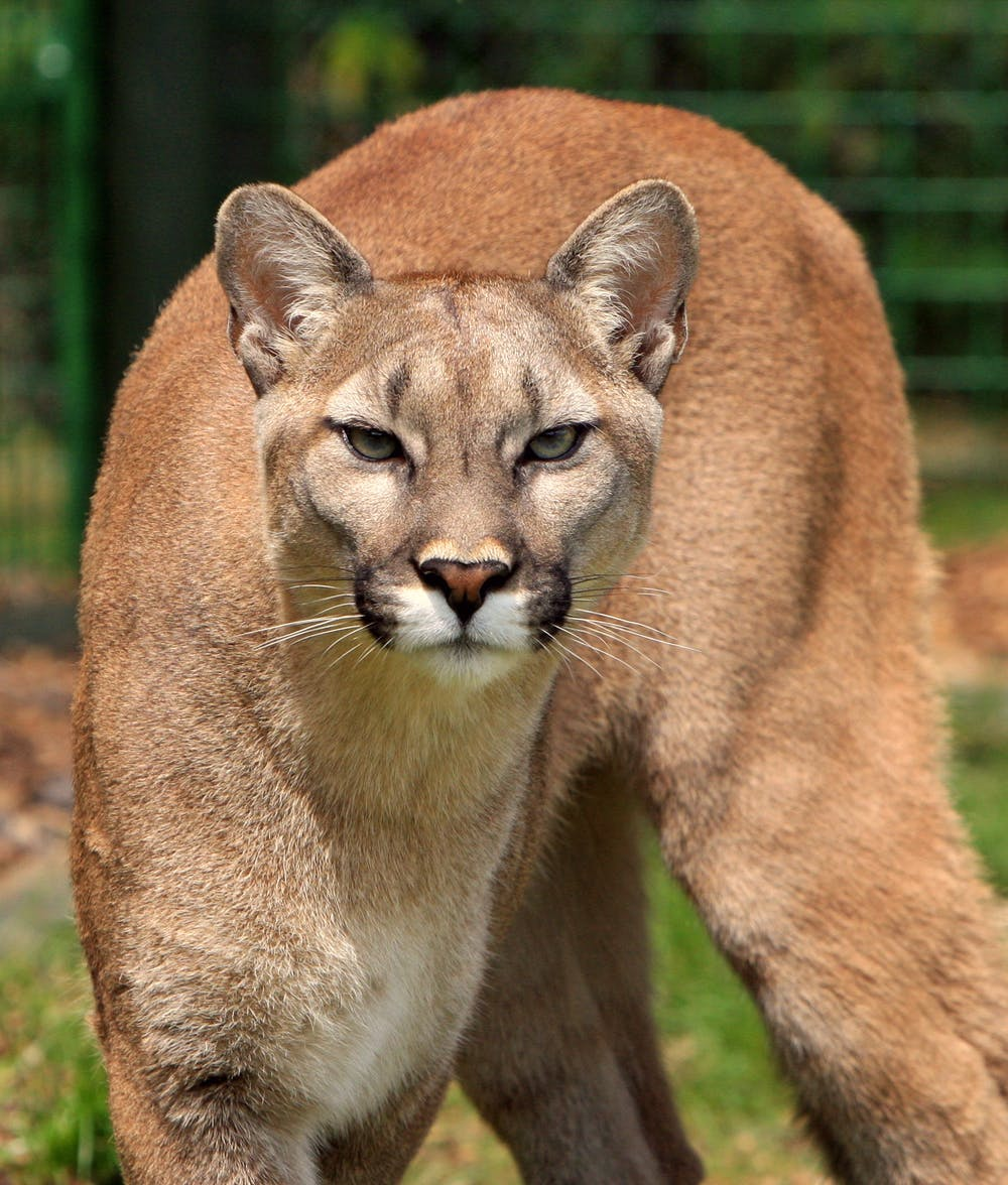 A mountain lion. | Photo: Pexels