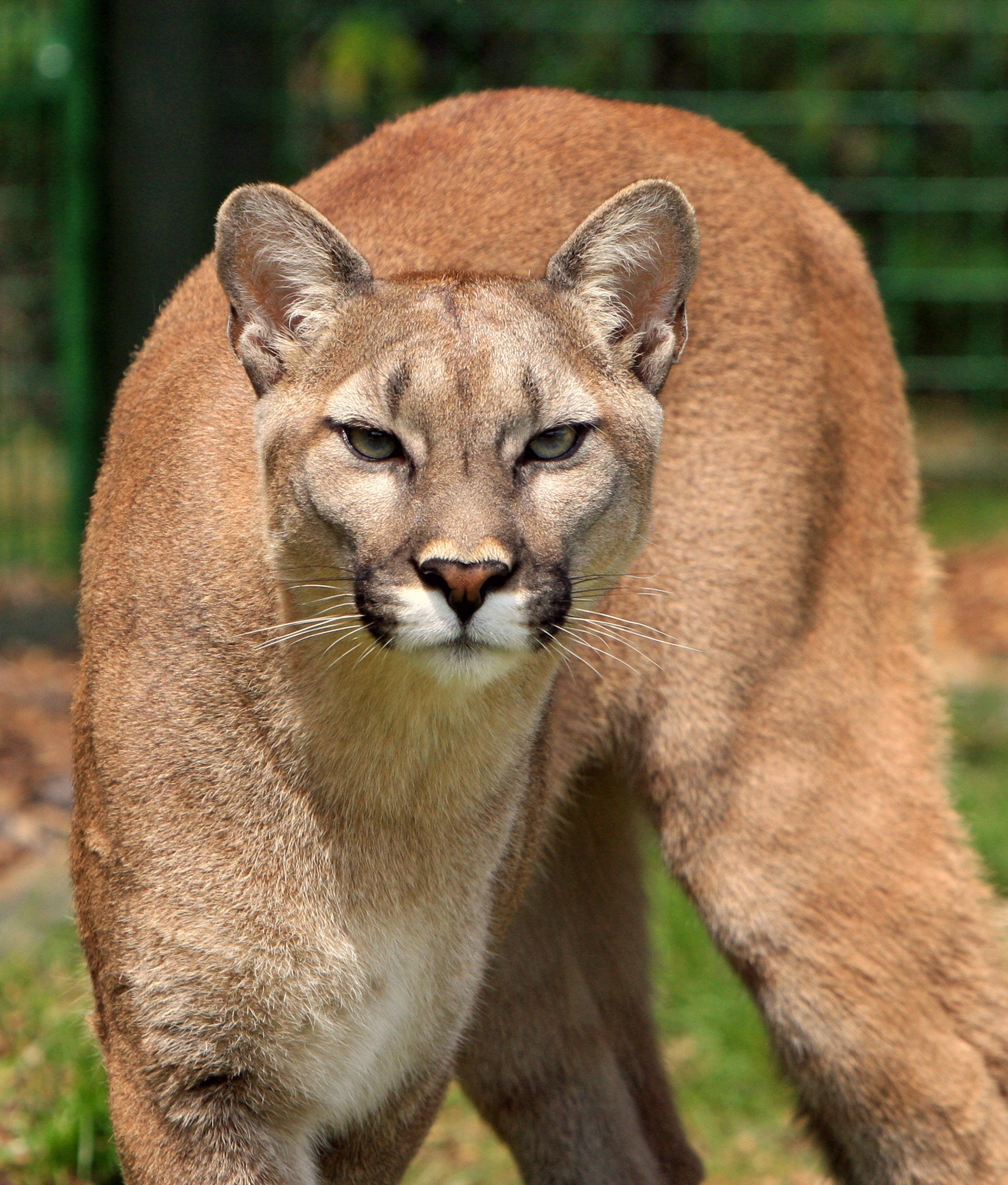 cougar animal free stock photo