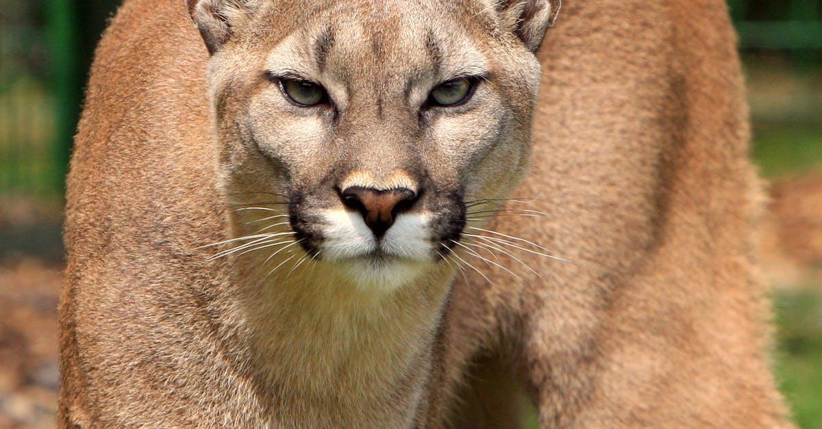 Cougar Animal 183 Free Stock Photo