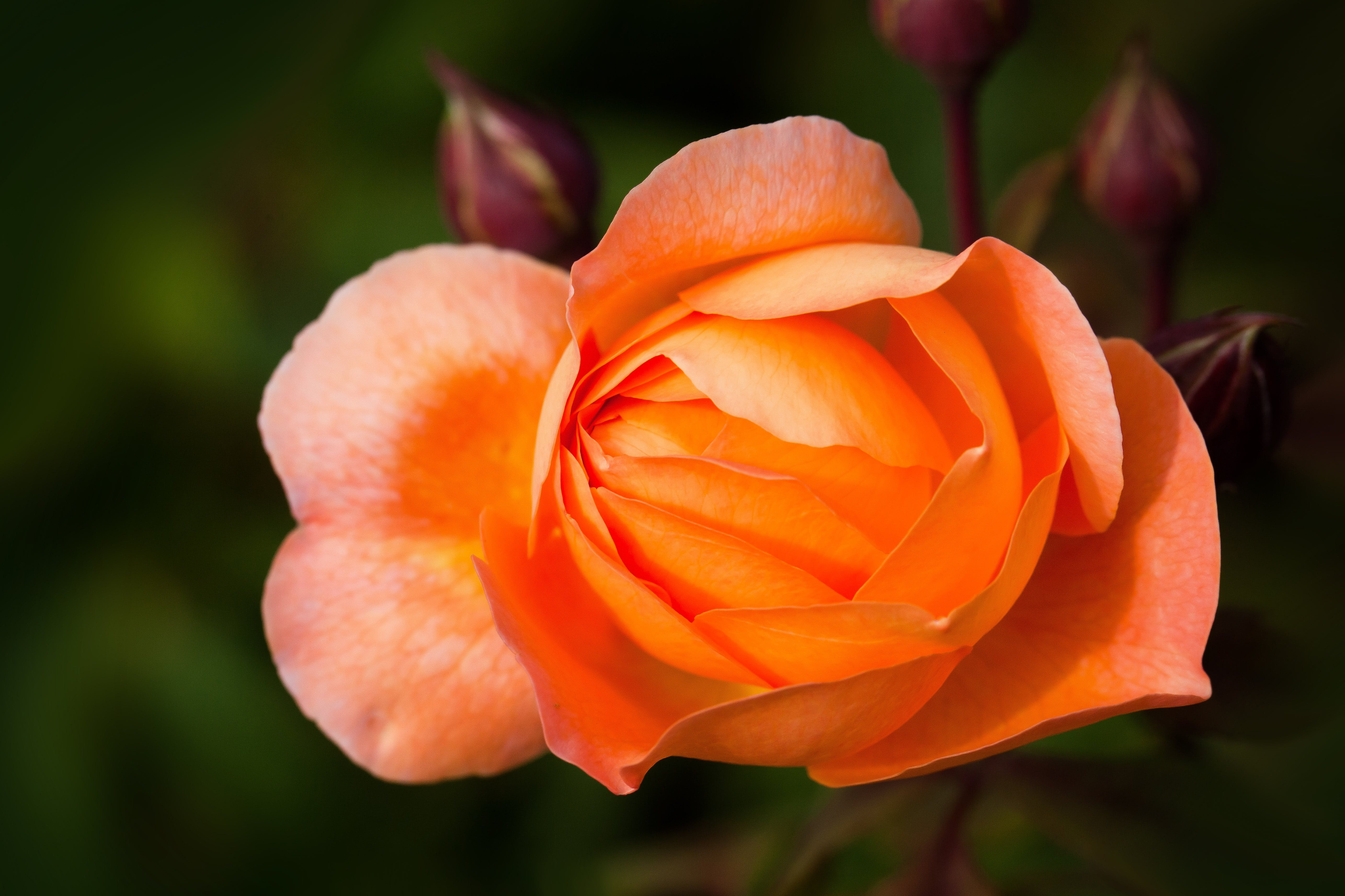 Selective Focus Photography of Orange Rose