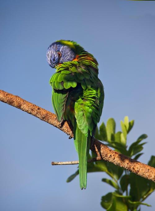 Ilmainen kuvapankkikuva tunnisteilla australialainen, papukaija, sateenkaariluri, sininen taivas