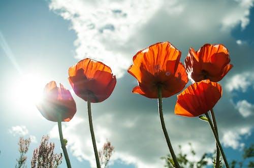 Foto d'estoc gratuïta de cel, flora, florir, flors