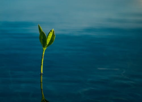 幼苗, 碧藍的海水, 红树, 蔚藍海水 的 免费素材图片