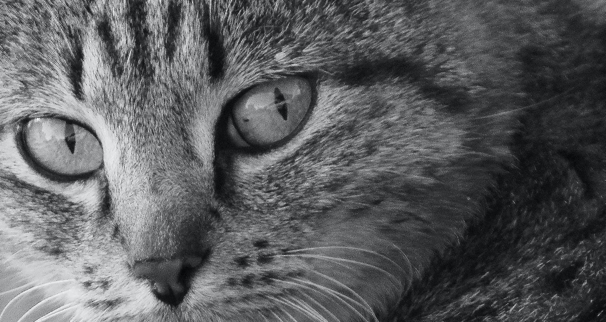 Free stock photo of cat, domestic animal