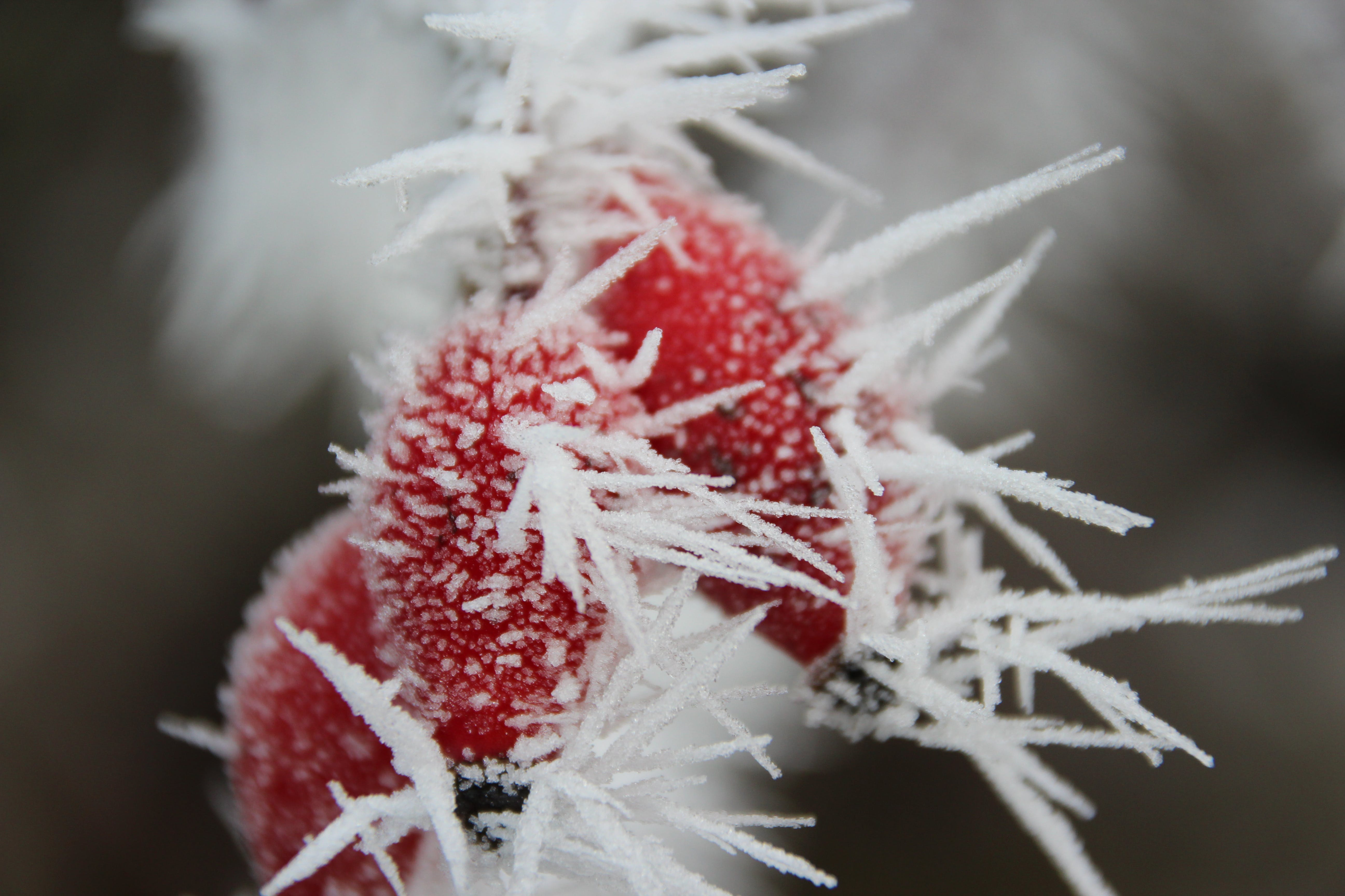 Frost Forming on Red Plant