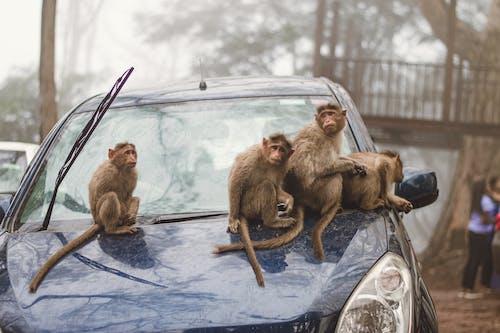 Macaque Monkeys Sitting on a Blue Car
