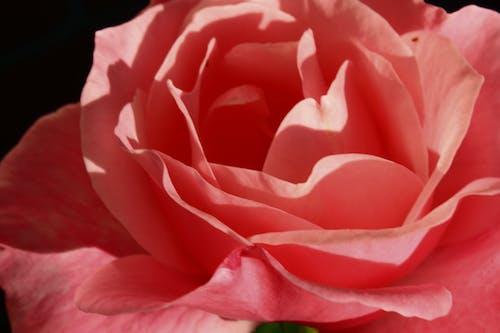 Základová fotografie zdarma na téma růže, růžová květina, zblízka