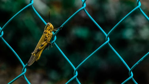 Yellow and Black Grasshopper on Teal Cyclone Wire Fence during Daytime in Shallow Focus Photography