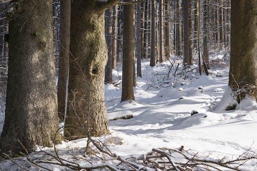 Immagine gratuita di alberi, ambiente, boschi, congelando