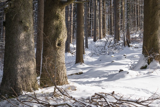 Free stock photo of snow, nature, trunks, forest