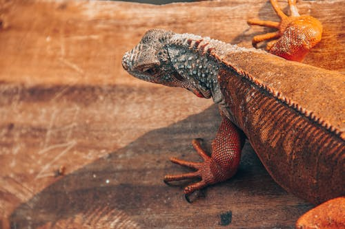 Lizard on Brown Wooden Surface