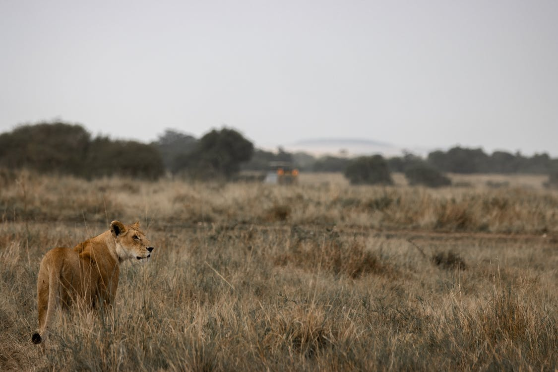 Brown Lioness on Brown Grass Field