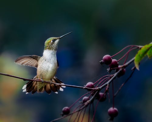 Hummingbird flying near plant with berries against blurred background