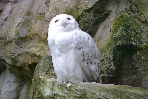 Foto profissional grátis de aves de rapina, branco, coruja, pássaro branco