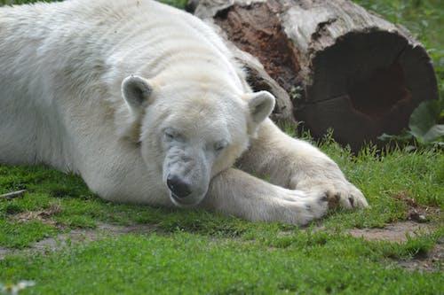 Foto profissional grátis de adormecido, alegre, urso-polar