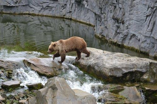 Foto profissional grátis de água, natureza, urso-pardo, ursos