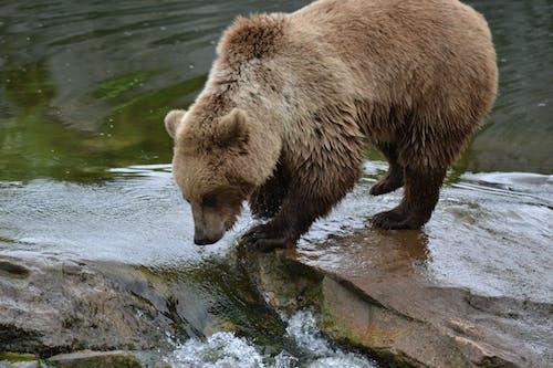 Foto profissional grátis de água, close, urso-pardo