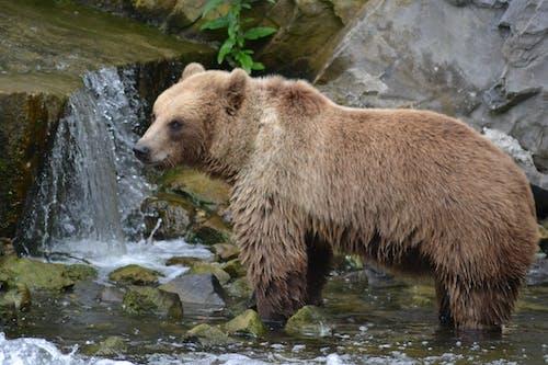 Foto profissional grátis de close, urso-pardo