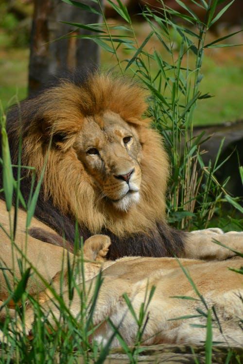 Foto profissional grátis de crina, leão