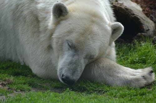 Foto profissional grátis de dormindo, urso-polar