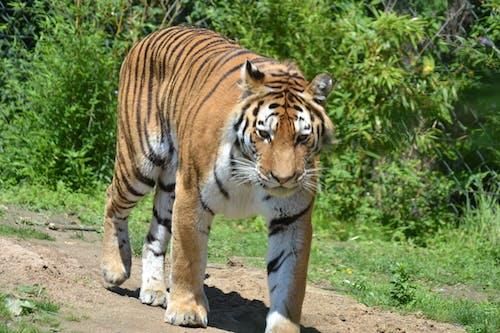 Foto profissional grátis de close, tigre-de-sumatra