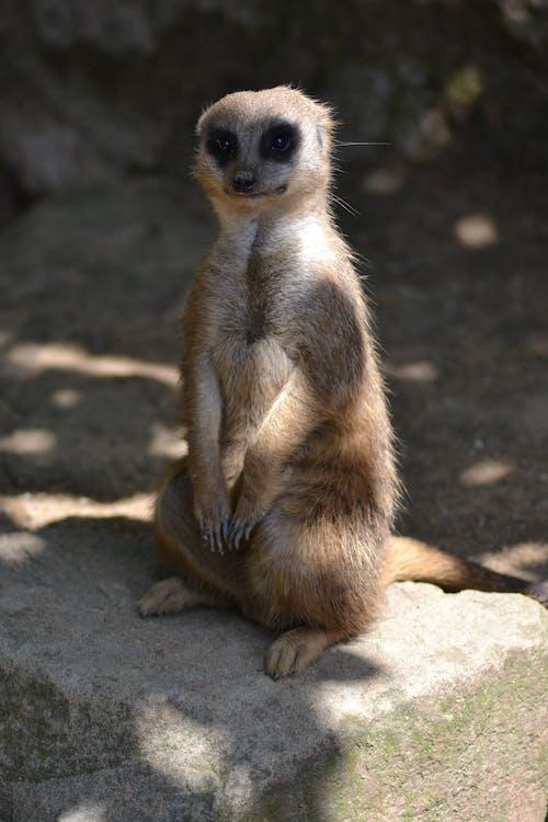 Foto profissional grátis de close, suricato