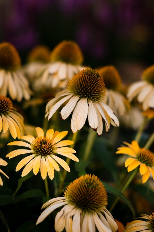 Closeup of blossoming coneflower with white petals and green leaves growing in summer countryside in daylight in nature on blurred background