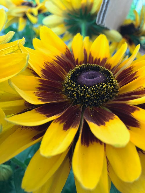 Foto profissional grátis de flor, flores bonitas, girassol
