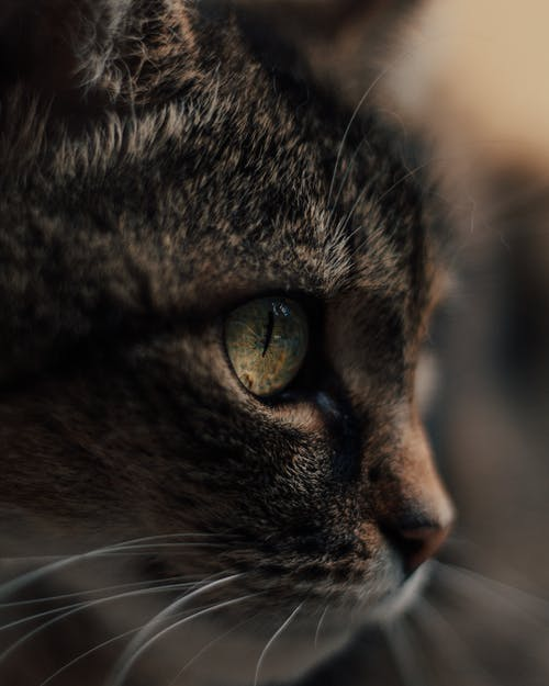Cute domestic cat attentively looking away