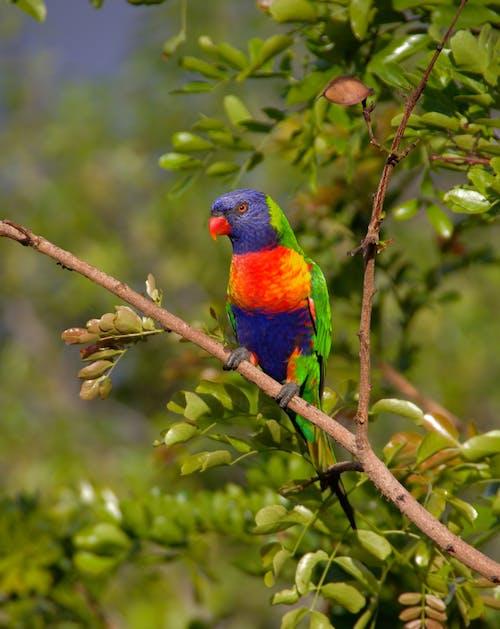 動物, 彩虹澳洲鸚鵡, 樹, 華美 的 免費圖庫相片