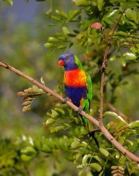 Blue Orange and Green Parrot Resting on Brown Branch